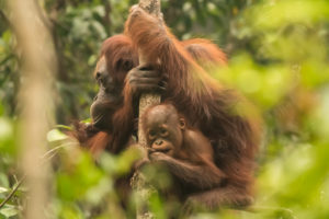 Orangutan in the Forest