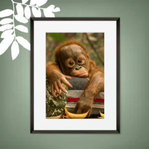 Orphan Chimp