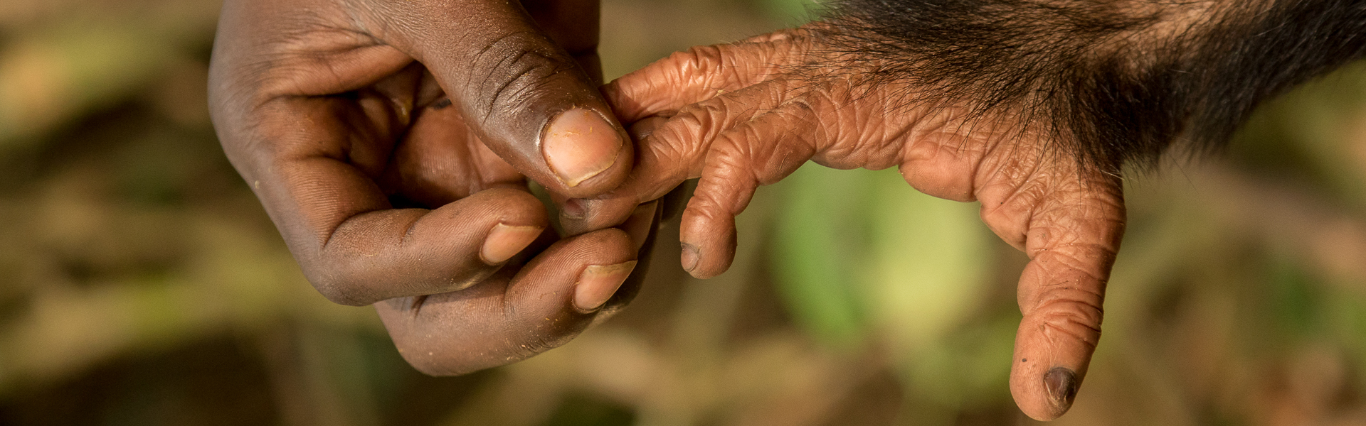 Human hand and chimpanzee foot (Pan troglodytes) captive orphan at Mefou Primate Sanctuary, Ape Action Africa, Cameroon