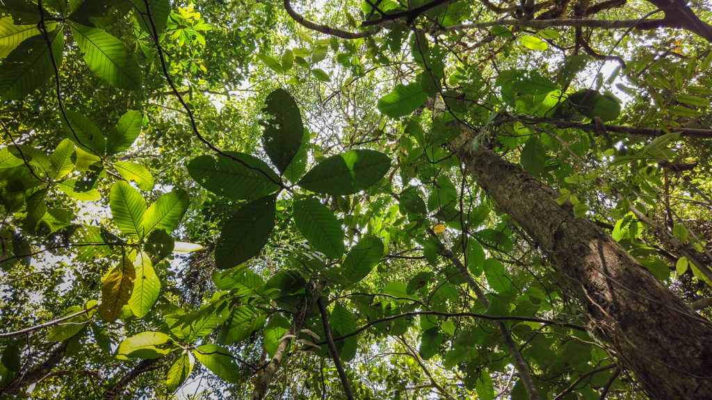 tropical peat swamp forest Borneo