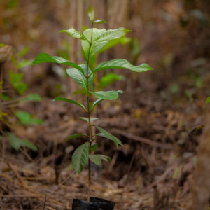 rainforest tree seedling from GLOBIO Borneo project