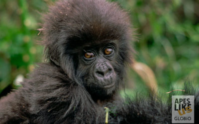 Screaming Chimps and Newborn Gorillas — Uganda Great Apes Safari 2019 Recap