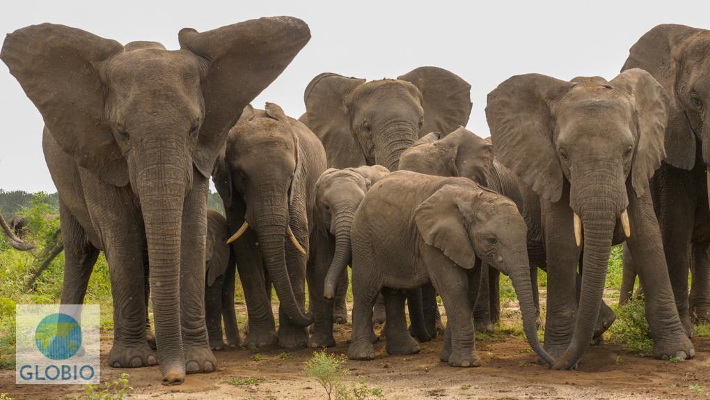African elephant heard