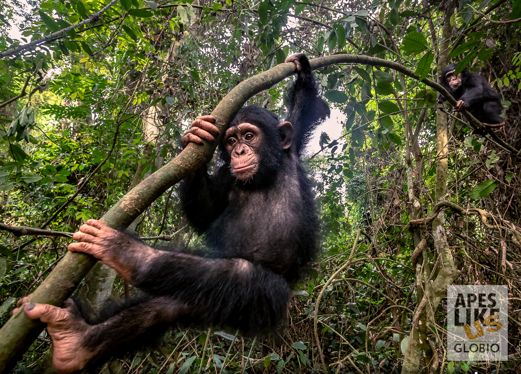 Little Larry chimpanzee