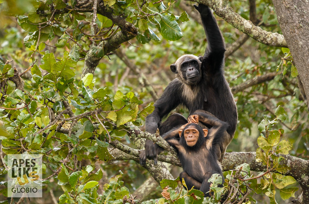 Chimp Subspecies: The Many Faces of Chimfunshi