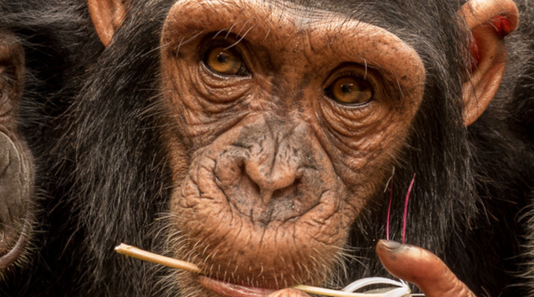 March Primate of the Month — Chimpanzee Subspecies
