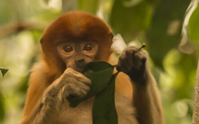 April Primate of the Month — Proboscis Monkey