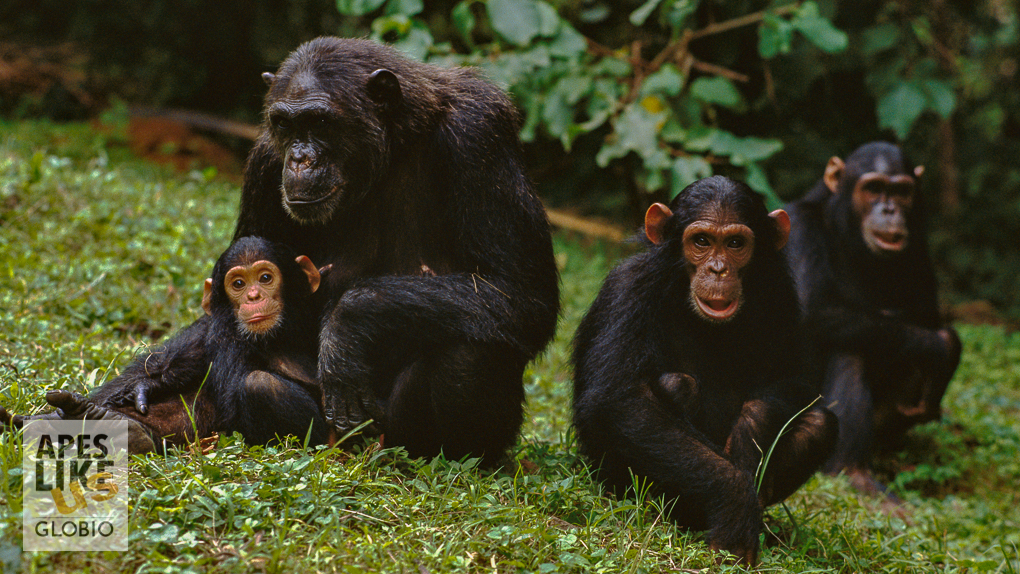 """F"" family of Chimpanzee group, Gombe Stream National Park, Tanzania"