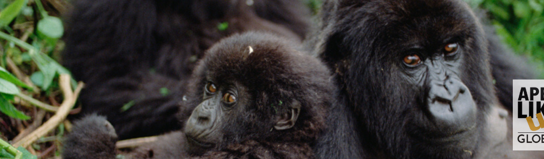 January Primate of the Month — Mountain Gorilla