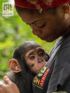 Caregiver attends a baby chimpanzee at Mefou Primate Sanctuary (Ape Action Africa) in Cameroon