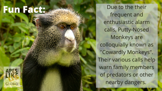"Putty-Nosed Monkey Fun Fact- They are often called ""cowardly monkyes"" due to their frequent alarm calls."