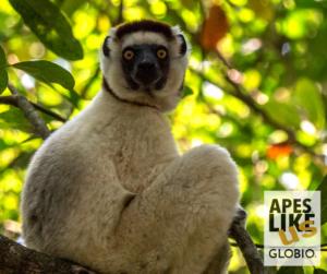 Endangered Sifaka Lemur, posing in tree