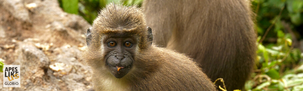 June Primate of the Month — Agile Mangabey
