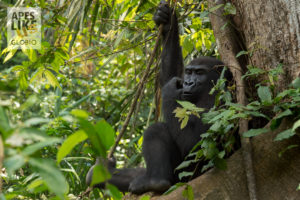 western lowland gorilla - Congo Basin Africa