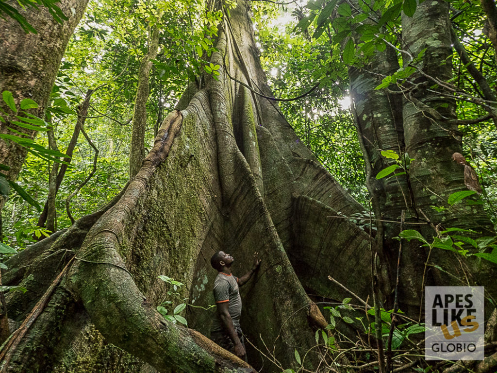 Rainforest tree griant Ebo Forest Cameroon