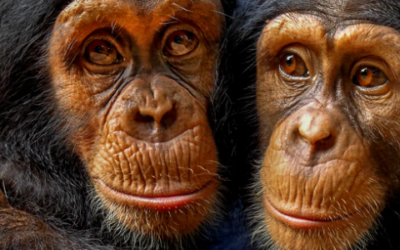 July Primate of the Month — Chimpanzee