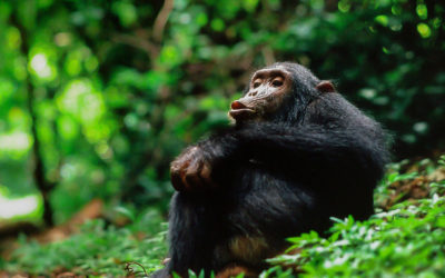 Chimp Thoughts: World Chimpanzee Day & The Day I Thought Jane Was Going To Kill Me