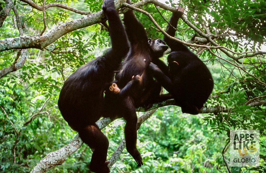 chimpanzees in trees at Gombe Stream NP, Tanzania
