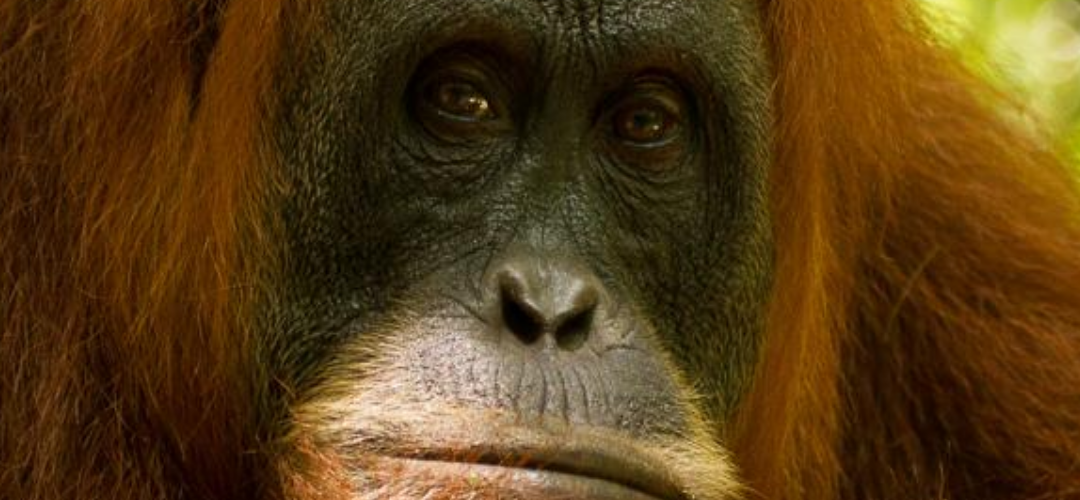 August Primate of the Month — Sumatran Orangutan