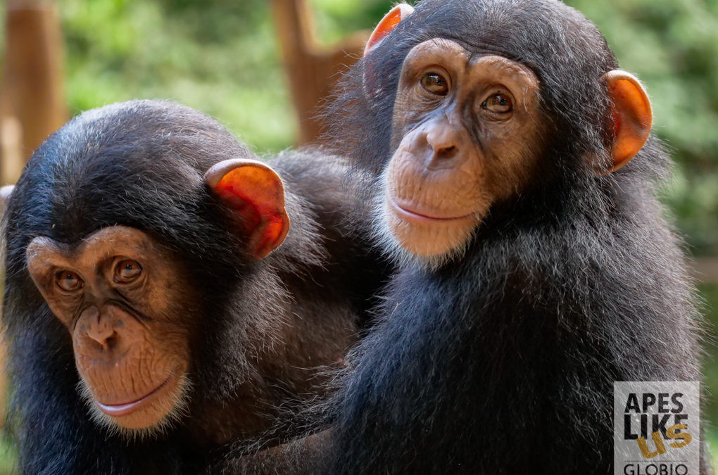 Tacugama Chimpanzee Sanctuary: GLOBIO's Newest Programs Partner