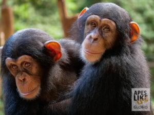 Orphan Western chimpanzees, Tacugama Chimpanzee Sanctuary Sierra Leone