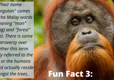 Sumatran Orangutan Fun Fact 3
