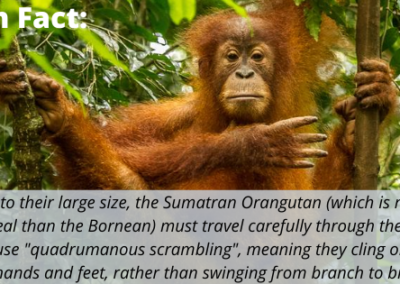 "Due to their large size, the Sumatran Orangutan (which is more arboreal than the Bornean) must travel carefully through the trees. They use ""quadrumanous scrambling"", meaning they cling on with both hands and feet, rather than swinging from branch to branch."