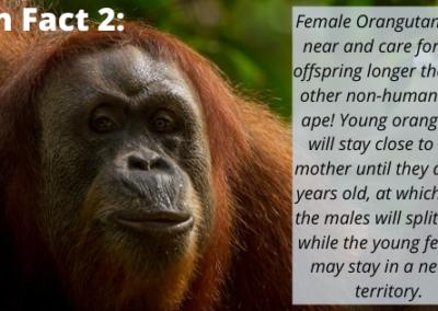 Sumatran Orangutan Fun Fact 2