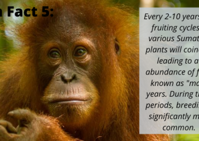 Sumatran Orangutan Fun Fact 5