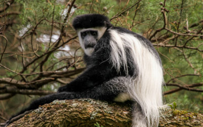 October Primate of the Month — Mantled Guereza