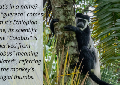 "Fun Fact: Colobus monkeys get their name from the Greek ""kolobus"", meaning mutilated - referring to their lack of thumbs!"