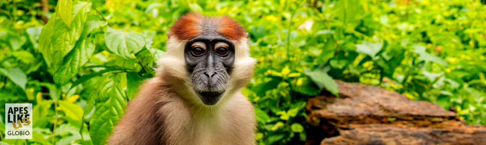 November Primate of the Month — Red-Capped Mangabey