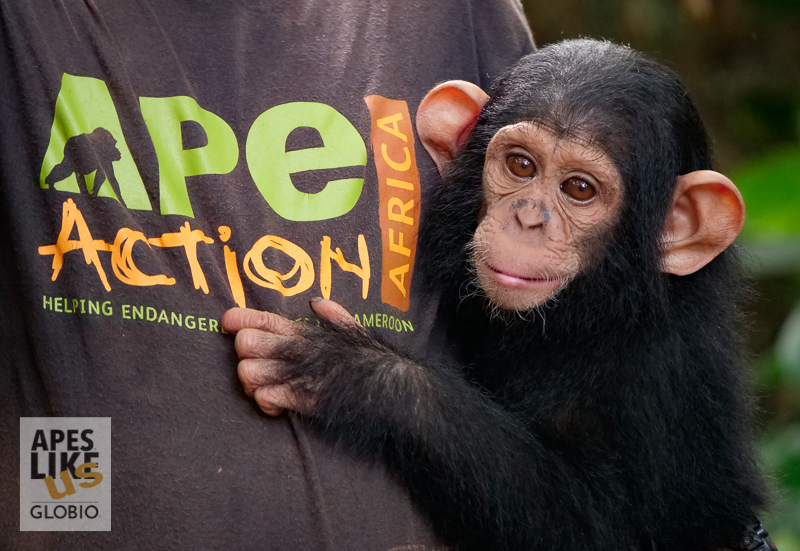 Rescued orphaned chimp Ape Action Africa