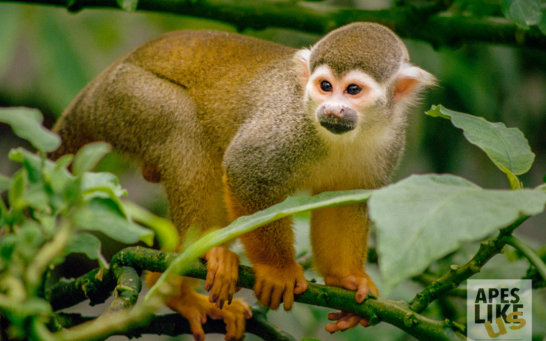 December Primates of the Month — Wonderful World of Monkeys