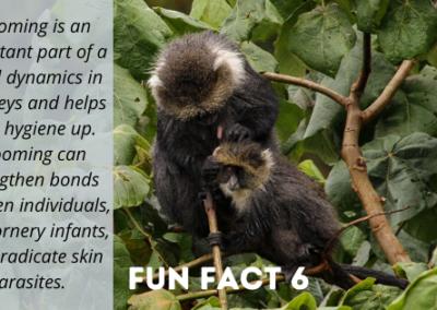 World Monkey Day Fun Fact - Samango Monkey