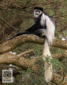 Mantled Guereza male sitting in tree in the wild