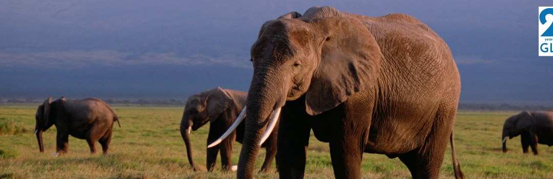 March Pachyderm of the Month: African Elephant