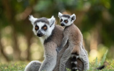 April Primate of the Month: Ring-Tailed Lemur